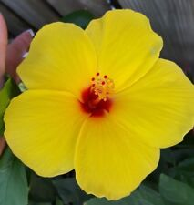 """EXOTIC """"TEQUILA"""" HIBISCUS LIVE STARTER  PLANT 5 INCHES TALL OR MORE"""