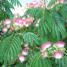 "1 Mimosa Silk Tree Bonsai ( Albizia julibrissin ) Approximately 6"" tall"