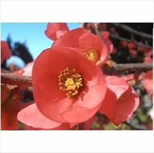 Japanese Flowering Quince (Chaenomeles Japonica) 5 Seeds