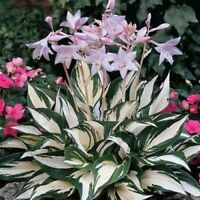 100 Fire And Ice Hosta Seeds Home Flower Garden Flowering Plant Seed