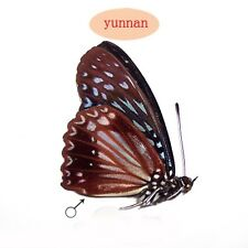 RARE  unmounted butterfly Nymphalidae Hestina nama CHINA A1-