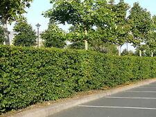 20 Native Hornbeam Hedging Plants 40-60cm Trees Hedge,2ft,Good For Wet Ground