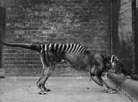 OLD PHOTO Thylacine Or Tasmanian Tasmanian Tiger In Captivity 1930