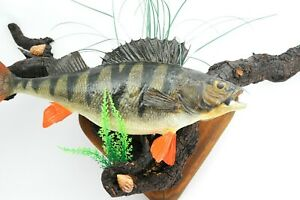 REAL BIG PERC BASS FISH TAXIDERMY Real Skin made in profesional taxidermist