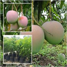 """Mango Tree Plant Grafted """"R2E2"""" Tall 18'' Exotic Fruit Tropical From Thailand"""