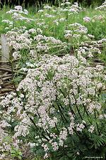 Echter Baldrian - Valeriana officinalis - 50 Samen -  Heilpflanze 001415
