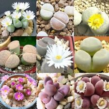 100 Rare Mixed Lithops Seeds Living Stones Succulent Cactus Organic Bulk Plant