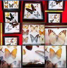 Dos antiguos cuadros de mariposas disecadas