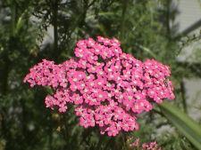 250 Pink Cerise Queen Yarrow Achillea Flower Seeds Gift