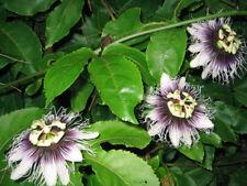 "Passiflora ""edulis"" (PASSION FLOWER)(10+ Seeds) Health Fruit, Exotic Plant"