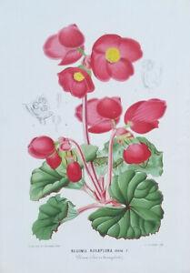 Linden Original Botanical c1886 Begonia Rosaeflora  Illustration Horticole