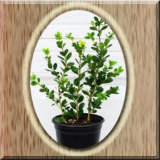 Winter Gem Wintergem Boxwood Microphylla var. Japonica Buxus Quar Pot Live Plant