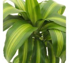 100 seeds Kyllinga brevifolia Rottb Thai herb T130