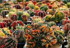 100 Cactus Seeds Gymnocalycium Mihanovichii Variety Color free s&h