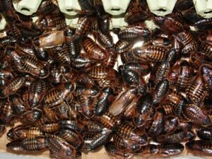 Dubia Roaches Adult Females - Males