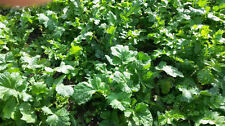 5 LB DEER GREENS PURPLE TOP TURNIP DAIKON RADISH RAPE SEED DEER FOOD PLOT SEED