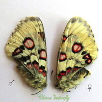 PAIR unmounted butterfly Papilionidae Parnassius nomion gabrieli A1  #8