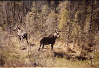 Vintage Photo Slide Moose Canada 1986