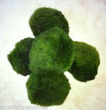 Moss Balls Marimo Chladophora aegagropila Sp Live Aquarium Plant High Quality