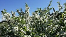 Flowering Roselow Sargent Crabapple 1-2' Lot Of 4
