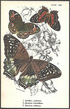 1890's BUTTERFLY INSECTS color chromolithograph - #XIX