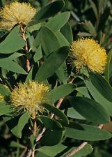 Melaleuca globifera in 50mm forestry tube native plant