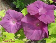 Benkei Japanese Morning Glory Seeds - ipomoea nil - NEW  ஐƸ̵̡Ӝ̵̨̄Ʒஐ
