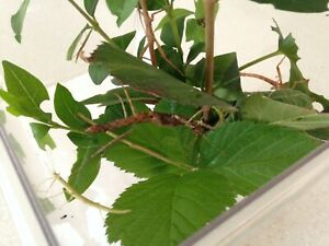 stick insects nymphs- Indian, yellow, Black Beauty, zompro, lonchodiodes  etc
