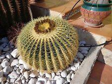 Semillas cactus asiento de suegra. Echinocactus grusonii. 30 semillas.