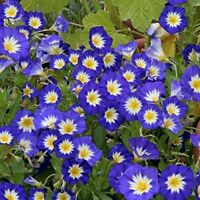 Morning Glory Ensign -Blue (Convolvulus Tricolor Minor)- 50 seeds