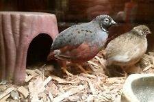 12 Rare Fertile Button Quail Hatching Eggs