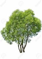(One) Fastest Growing Tree in The World - Ready to Plant - One Aussie Hybrid Tre