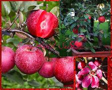 SUPER DWARF RED APPLE TREE! 'Baya Marisa' Self-fertile! VERY RARE SEEDS.