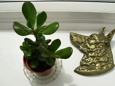 crassula ovata-the money tree-height 15.0 cms,in a very good condition