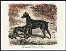 MANCHESTER AND ENGLISH TOY TERRIER DOGS LOVELY DOG PRINT POSTER
