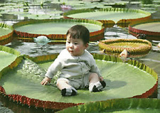Victoria Amazonica/Giant Water Lily/Lotus/505 seeds/