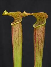 Carnivorous Sarracenia rubra subsp gulfensis, Yellow River, Florida