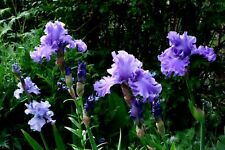 1x Iris germanica Delta Blues Cayeux Irises Tall Bearded HUGE FLOWERS L rhizome