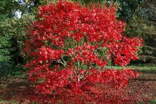 """ACERO ROSSO GIAPPONESE  """"Acer Palmatum Autumn Red """"  vaso 20 altezza 40/80 cm"""