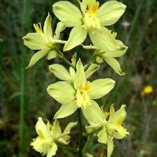 DELPHINIUM SEMIBARBATUM, YELLOW DELPHINIUM  20 seeds