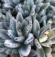 Kalanchoe Tomentosa-Panda Plant succulent-3 fresh cuttings