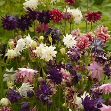 Pack Flower Seeds Aquilegia Barlow Mixed Kings Quality Seed Perennial