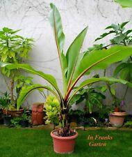 Ensete ventricosum@Abessinische Banane@wunderschöner Gigant@Zierbanane@ 30 Samen