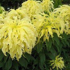 Amaranthus - Yellow- 100 Seeds