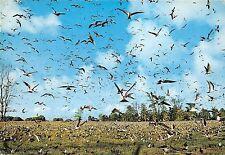 B36789 Animals Animaux Sooty tern sterne fuligineuse  seychelles