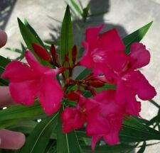 Pink Oleander Live Plant 3 to 5 inches tall