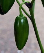 JALAPENO PEPPER SEEDS 20+ hot SPICY taste MEXICAN CULINARY cooking FREE SHIPPING