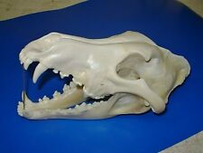 "Real  -  WOLF - ""Canis Lupus""  Skull  -  Antler  Skeleton Trap  Mount  Bone Hunt"
