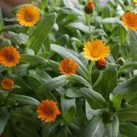 Kings Seeds - Calendula Winter Sun - 90 Seeds