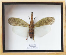 REAL GIANT LANTERN FLY ZANNA NOBILIS BEETLE INSECT TAXIDERMY IN WOODEN BOX